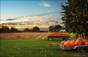 pumpkin_field